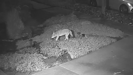 A coyote spotted in San Jose's Blossom Valley neighborhood.