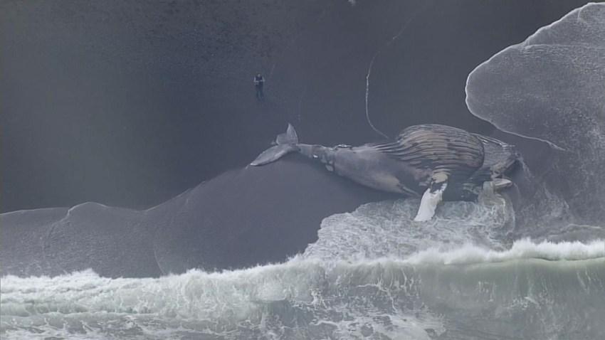 TLMD-ballena-pacifica