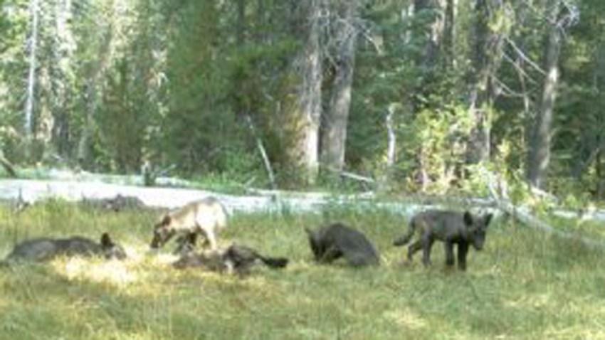 TLMD-manada-lobos-california-2