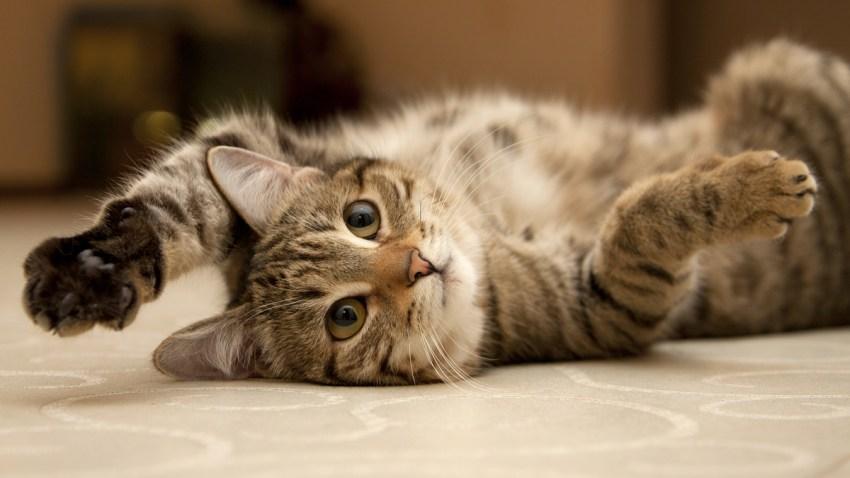 gato-lindo-videos-internet
