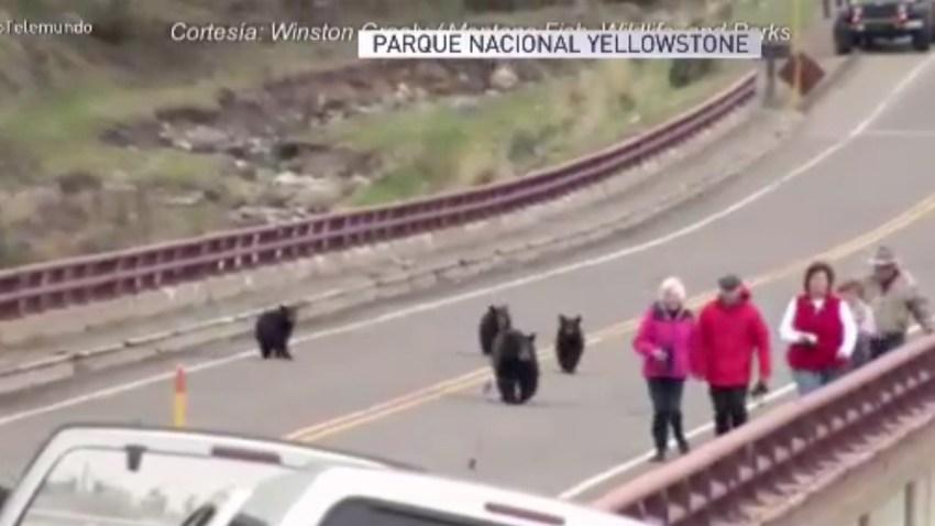 osos-persiguen-turistas-yel