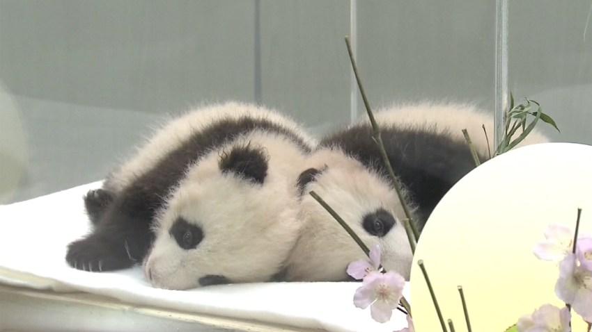 pandas-mellizas-japon
