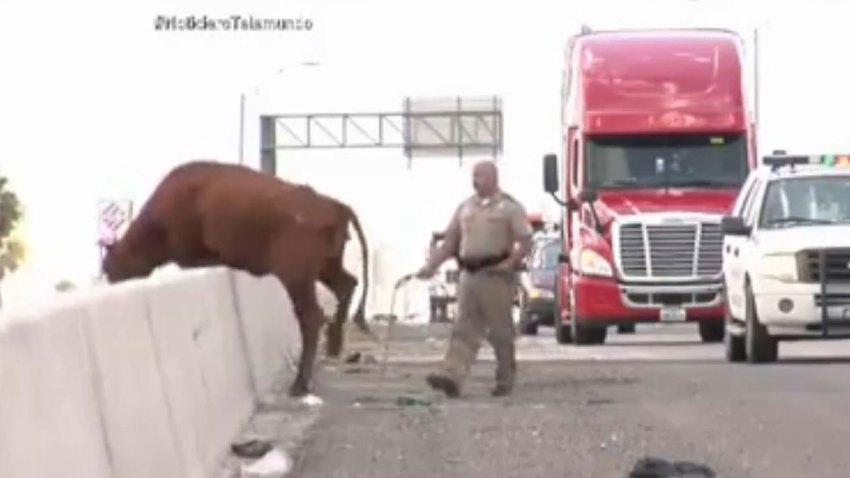 vaca-fugitiva