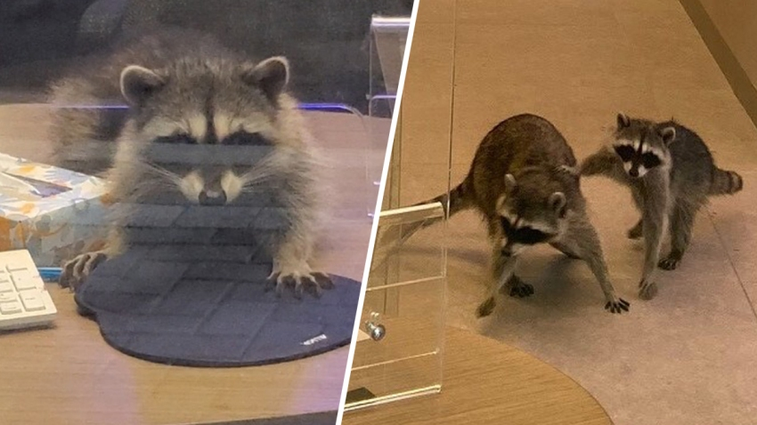 Two raccoons inside a bank in Redwood City.