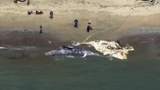 Two dead whales at Angel Island.