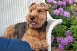 TLMD-welsh-terrier-shutterstock_195919523