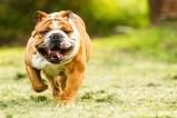 tlmd-bulldog-perro-ideal-apartamento