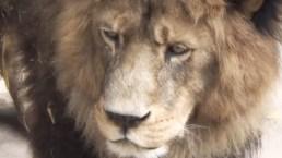 Por intento de suicidio, matan a 2 leones