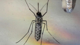 Zika: conoce al mosquito insaciable que lo propaga