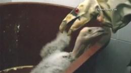 Condoritos recién nacidos creen que guante es su mamá
