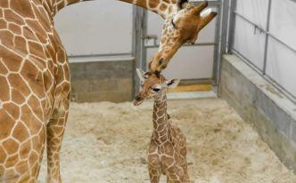 Mamá al rescate: bebé jirafa da sus divertidos primeros pasitos