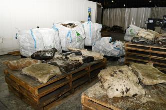 De México a Australia: cuero de vaca ocultaba millonario alijo