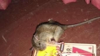 Cierran tiendas por infestación de roedores