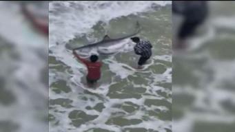 Video: Inmenso tiburón se acerca a concurrida playa