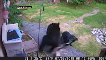 Perrito valiente se faja con oso hambriento y lo ahuyenta