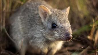 El bettong, la extraña rata que desaparece