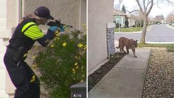 En video: neutralizan con un dardo a puma en una casa