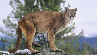 Puma merodea 2 escuelas en San Mateo