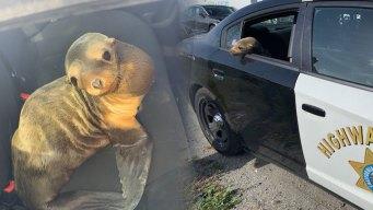 Tierno león marino detiene el tráfico en Autopista 101