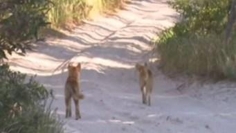 Padre pelea por su hijo con manada de perros salvajes