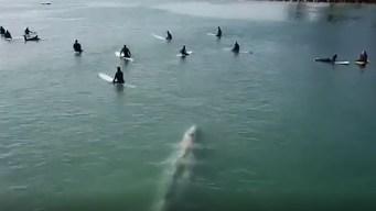 Sorprendente: gigantesca ballena nada bajo surfistas