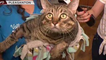 Desocupar los Albergues: conoce a la gatita Cabbage