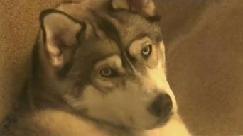 Muchos abandonan perros de raza 'husky'