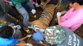 Tailandia: mueren 86 tigres rescatados de un templo