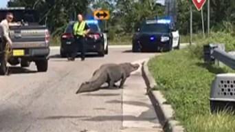 Gigantesco caimán sale de pantano y pasea por concurrido puente