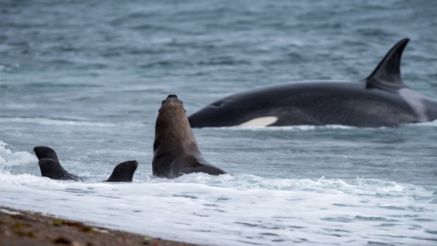 [TLMD - NATL] Captan a ballenas asesinas en brutal cacería