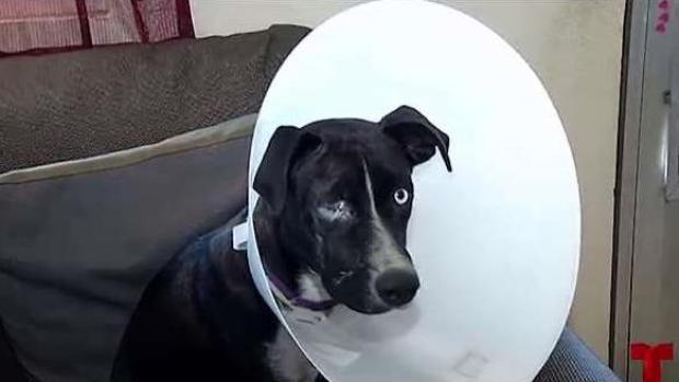 Perrita pierde un ojo a causa de la pirotecnia