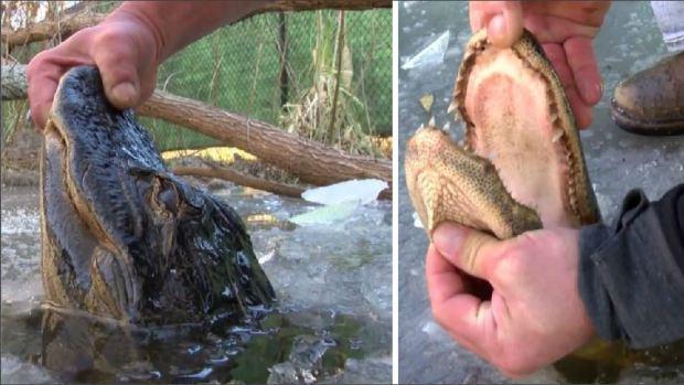 [TLMD - NATL] Juguetea con las fauces de caimanes pasmados por el frío