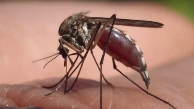 Triple E: virus mortal que comienza como gripe; transmitido por mosquitos