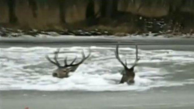 Video: Salvan a dos ciervos de morir congelados