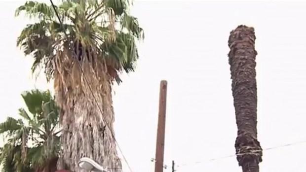 Video: Hispano murió aplastado por palmera