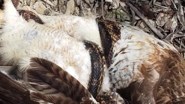 Halcón vs serpiente: viral pelea con sorprendente final