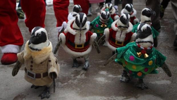 Video: Divertido desfile de pingüinos navideños