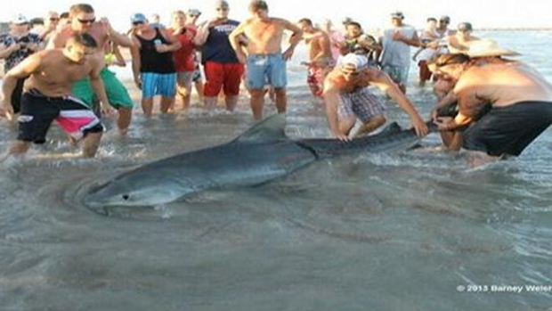 Video: Cabalgan  tiburón como si fuera un toro