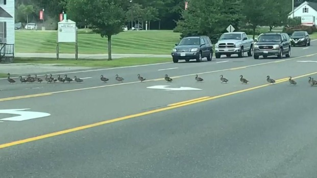 Familia numerosa de patos cruza transitada calle; suman más de 40