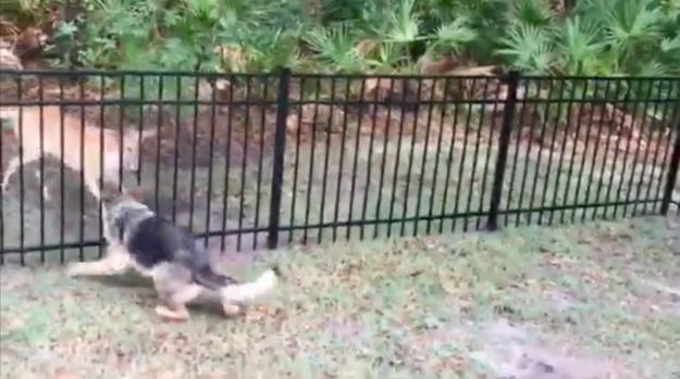 """[TLMD - NATL] """"Persecución"""" entre perro y venado ¿quién atrapa a quién?"""