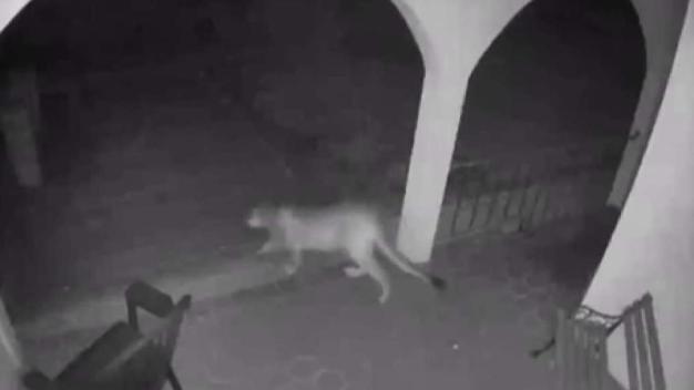 Puma se pasea tranquilamente por casa en Morgan Hill