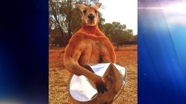 Revelan de qué murió famoso canguro musculoso