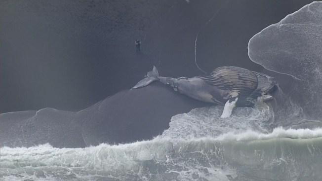 Video: varada ballena jorobada en Pacífica