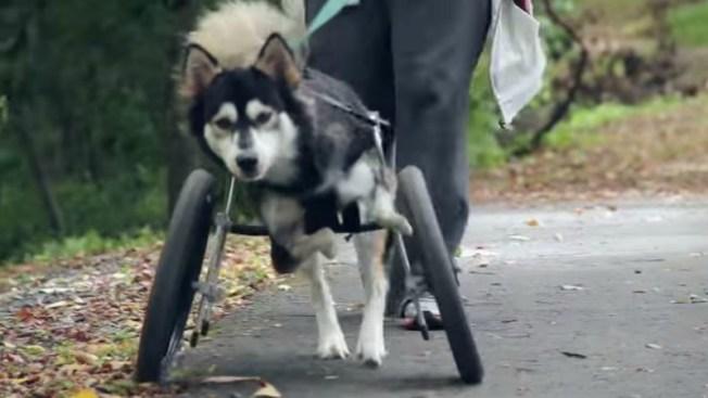 Un milagro en 3D para perro que no podía correr