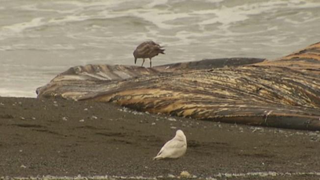 Video: entierran ballenas varadas en playas de Pacífica