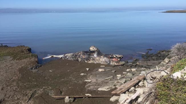 Hallan restos de ballena en Fremont