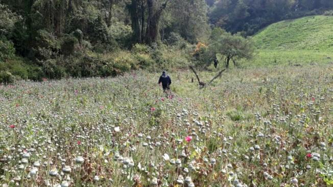 Policía destruye campos de amapola en Guerrero
