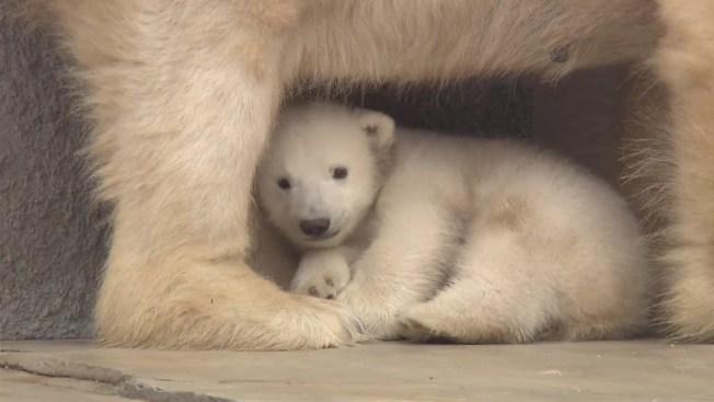 Presentan en sociedad a tímido osito polar