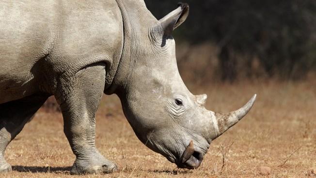 Rinoceronte aplasta hasta la muerte a un guía