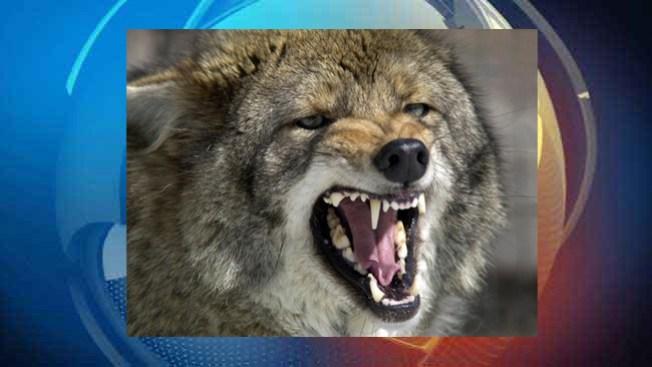 Niña termina en fauces de coyote